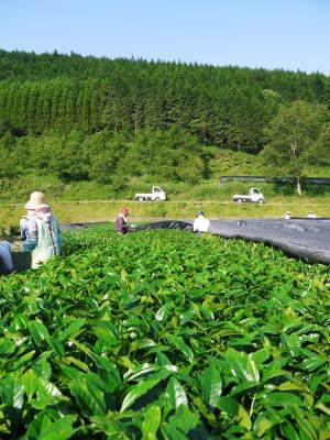 菊池水源茶 5月の1番茶の収穫へ向け、元気な新芽を芽吹かせるための仕上げ剪定の様子_a0254656_19323930.jpg