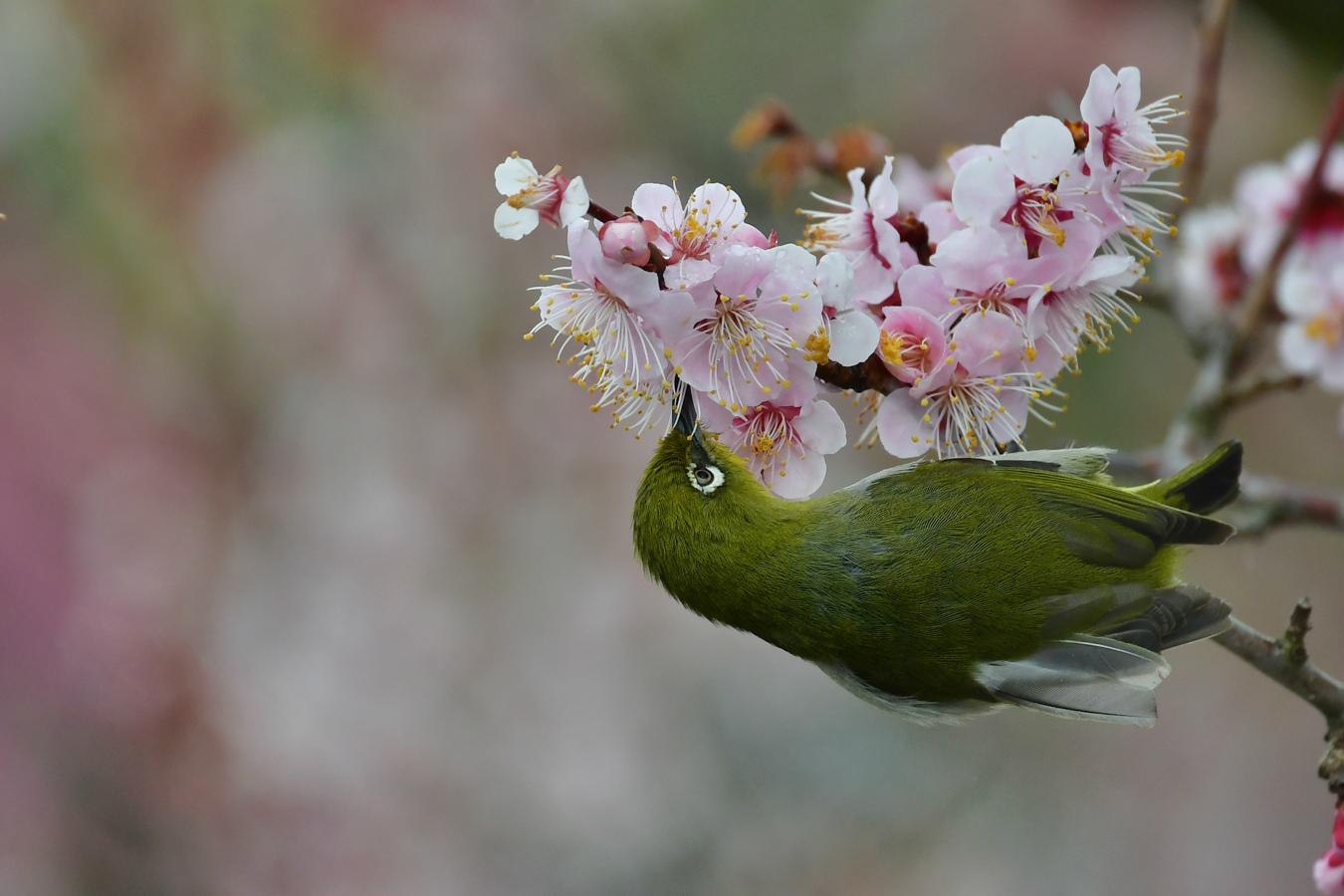 桜はまだ早かった〜 メジロ ジョウビタキ_f0053272_15393618.jpg