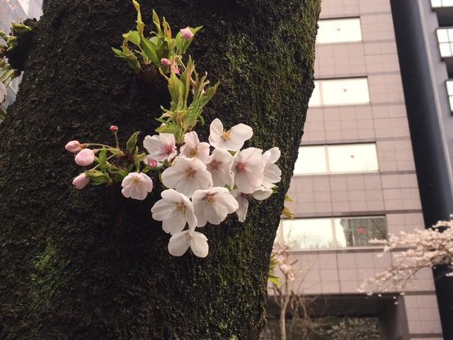 2017年の桜(1)_b0129897_16432281.jpg