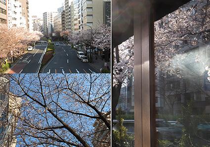 広尾明治通り沿いの桜2017_f0165332_21474312.jpg