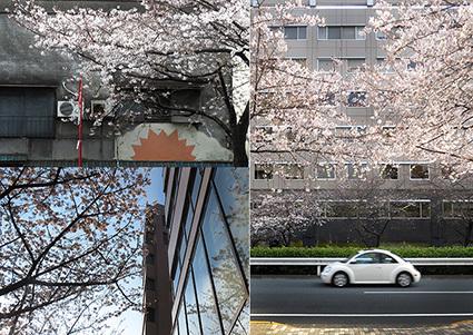 広尾明治通り沿いの桜2017_f0165332_21474899.jpg