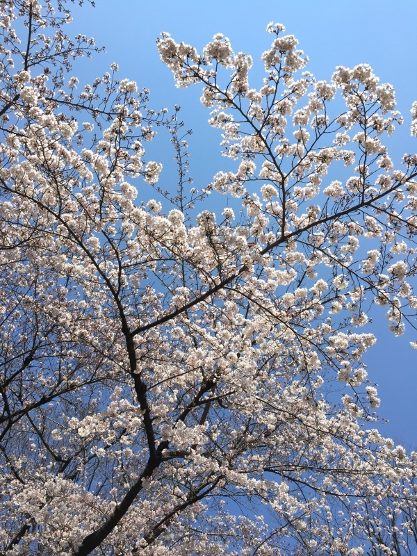 今週の桜_a0103940_15041566.jpg