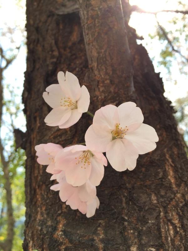 今週の桜_a0103940_15060502.jpg