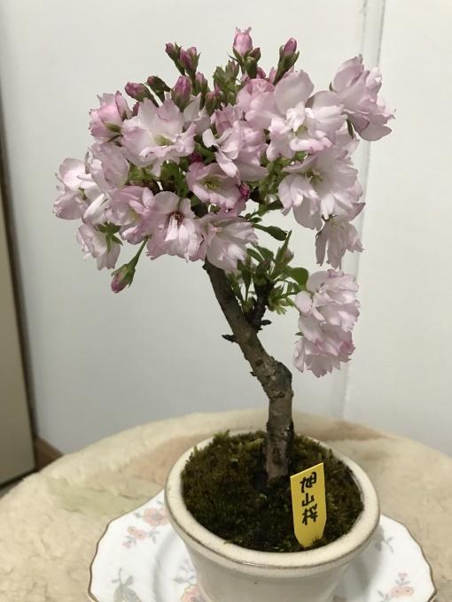 桜満開ですね❁_f0140343_15263217.jpg