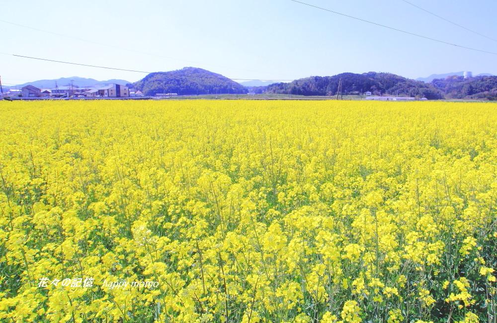 菜の花畑_c0357781_17535739.jpg