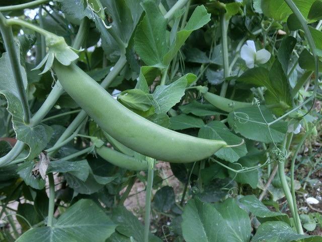 我が家の小さな畑のスナップエンドウが収穫できるようになりました_f0141310_07414155.jpg