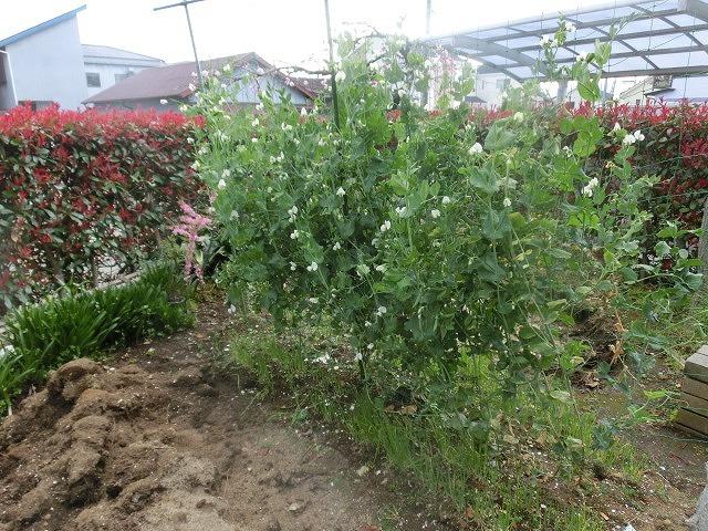 我が家の小さな畑のスナップエンドウが収穫できるようになりました_f0141310_07414947.jpg
