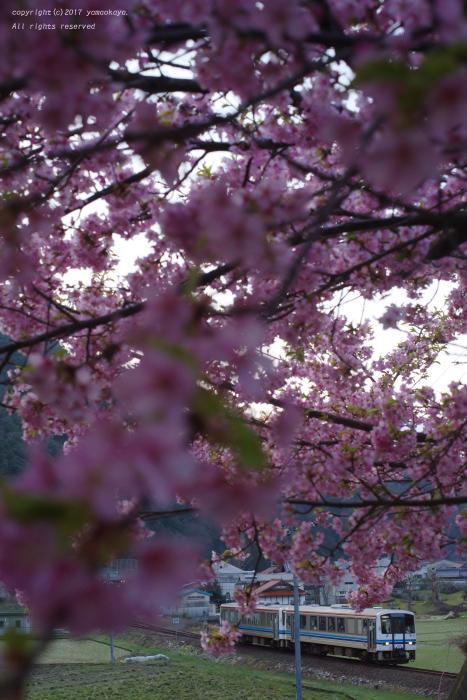 早咲きの河津桜_d0309612_23270225.jpg