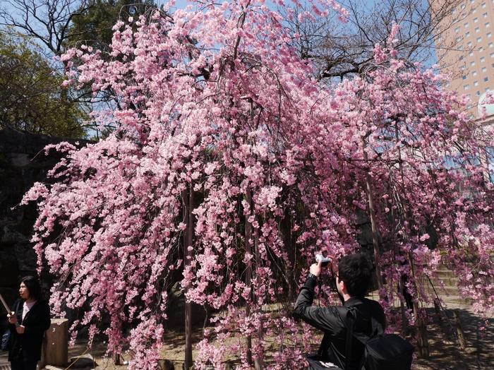 枝垂れ桜_b0093754_21452134.jpg