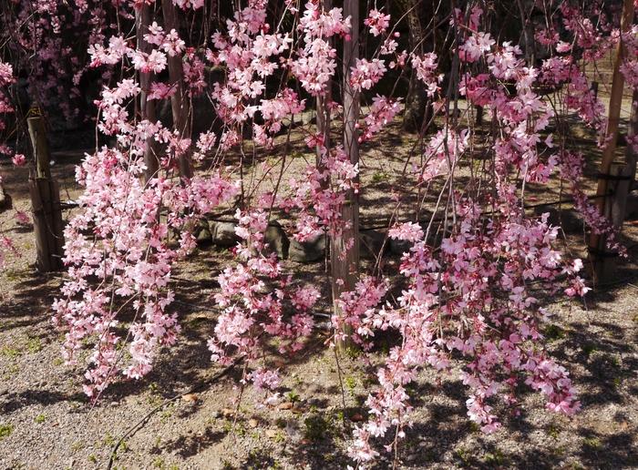 枝垂れ桜_b0093754_21493655.jpg