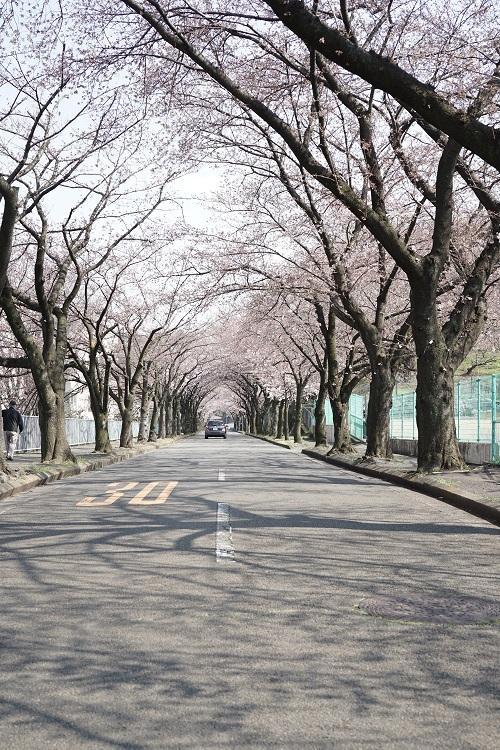 桜のトンネル_a0292060_21372784.jpg