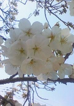 桜_b0328361_21340543.jpg