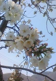 桜_b0328361_21340607.jpg