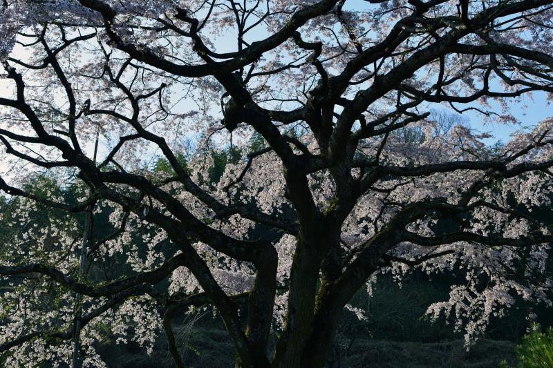 桜遍路 ⑤ 堀池のしだれ桜 (綾川町西分) ~ 3_d0246136_18314730.jpg