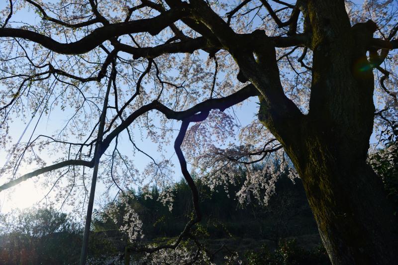 桜遍路 ⑤ 堀池のしだれ桜 (綾川町西分) ~ 3_d0246136_18320095.jpg