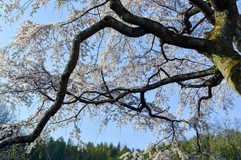桜遍路 ⑤ 堀池のしだれ桜 (綾川町西分) ~ 3_d0246136_18321573.jpg