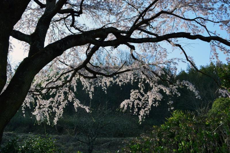 桜遍路 ⑤ 堀池のしだれ桜 (綾川町西分) ~ 3_d0246136_18322791.jpg