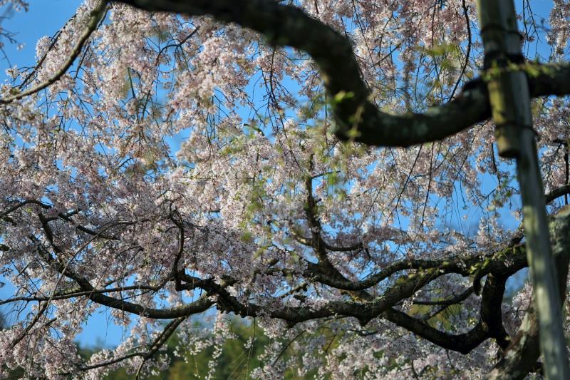 桜遍路 ⑤ 堀池のしだれ桜 (綾川町西分) ~ 3_d0246136_18324770.jpg