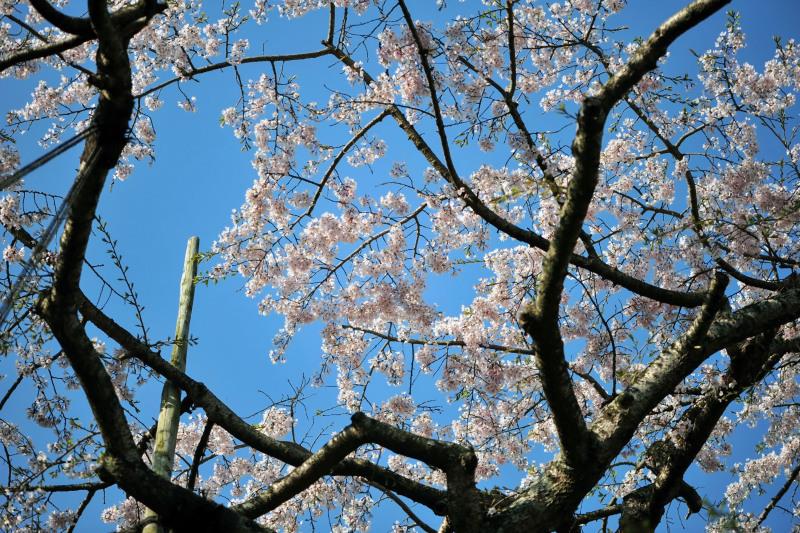 桜遍路 ⑤ 堀池のしだれ桜 (綾川町西分) ~ 3_d0246136_18325732.jpg
