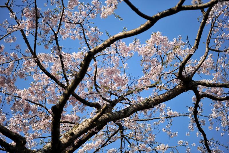 桜遍路 ⑤ 堀池のしだれ桜 (綾川町西分) ~ 3_d0246136_18330666.jpg