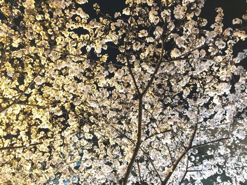 明治通りの夜桜_a0103940_08155050.jpg