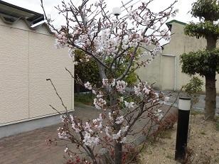 桜開花2分咲き_e0163042_15011787.jpg