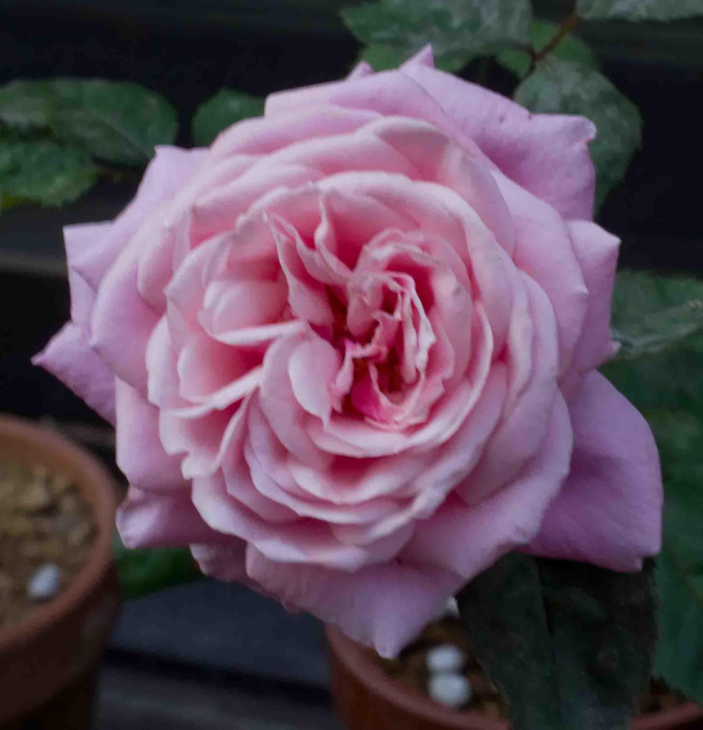 駒場ばら園作出のバラを植え付けました_a0094959_23454905.jpg