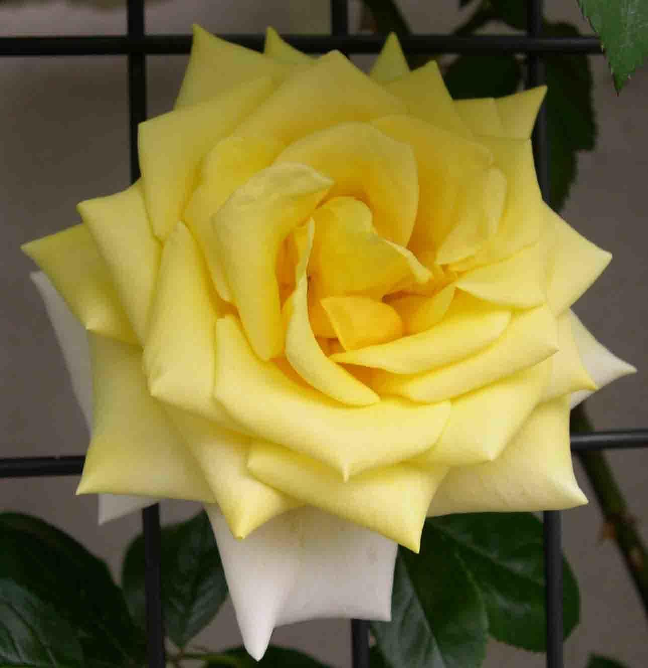 駒場ばら園作出のバラを植え付けました_a0094959_23461299.jpg