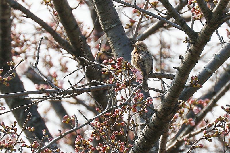 こんどは桜の花の中に埋もれ、、、探すの大変だったアリスイです。_f0368272_21374947.jpg