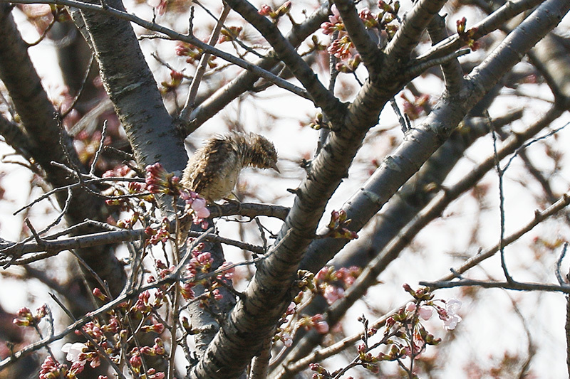 こんどは桜の花の中に埋もれ、、、探すの大変だったアリスイです。_f0368272_21380599.jpg