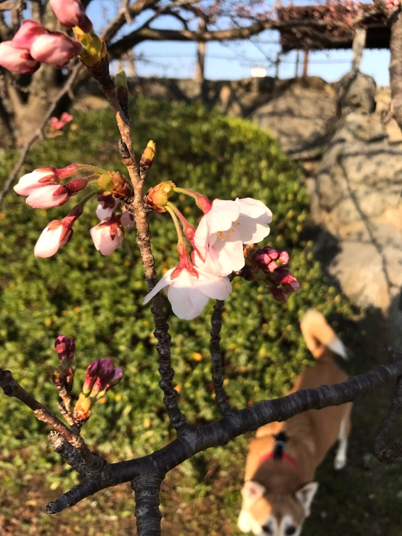 桜の観察_f0232994_1110353.jpg