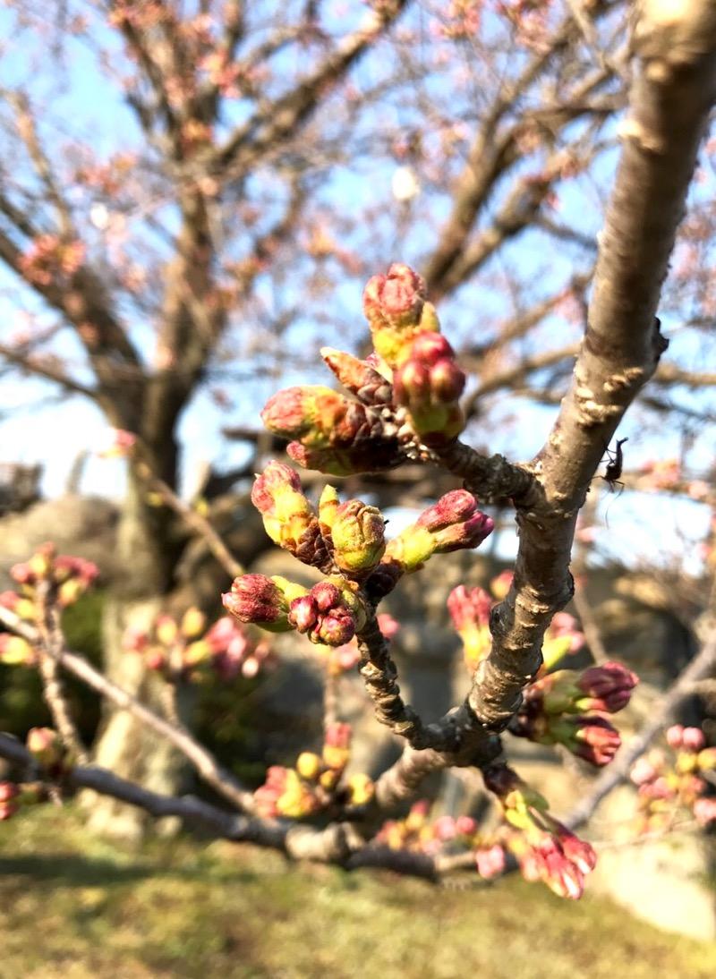 桜の観察_f0232994_1133614.jpg