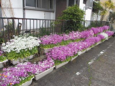 桜草は満開_e0150006_20500384.jpg