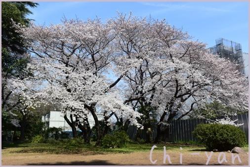 桜前線(自然教育園 → 目黒川)_e0219011_19070203.jpg