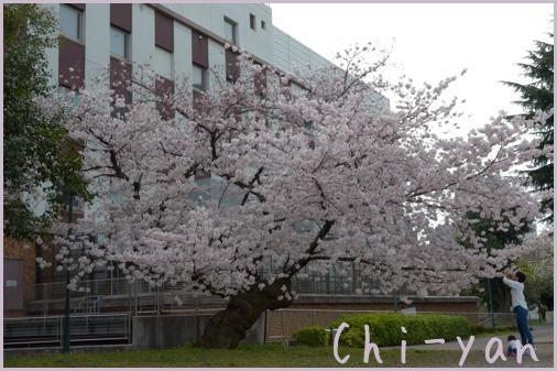 桜前線(自然教育園 → 目黒川)_e0219011_19072221.jpg