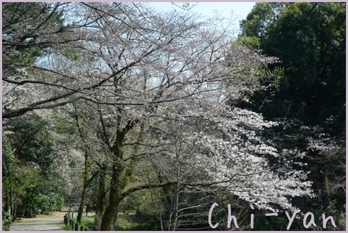 桜前線(自然教育園 → 目黒川)_e0219011_19080590.jpg