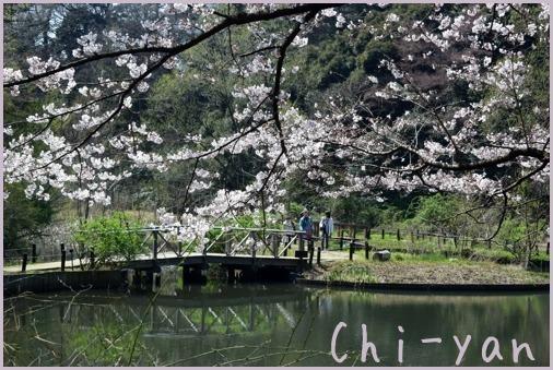 桜前線(自然教育園 → 目黒川)_e0219011_19081214.jpg