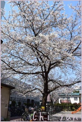 桜前線(自然教育園 → 目黒川)_e0219011_19103464.jpg