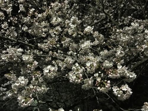 夜桜。_b0028732_02120930.jpg