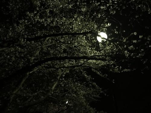 夜桜。_b0028732_02122872.jpg