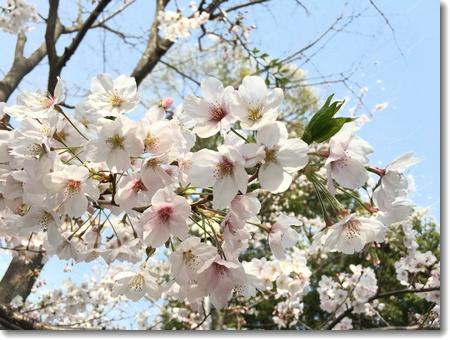 満開葉桜_c0147448_14594296.jpg