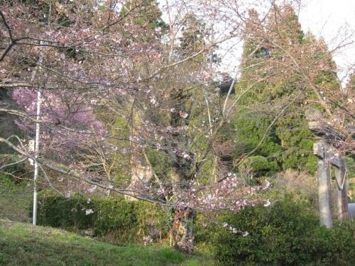 4/6 鶴舞公園の開花状況_c0363752_11415807.jpg
