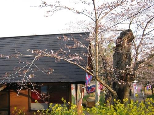 4/6 鶴舞公園の開花状況_c0363752_11421910.jpg