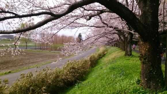 見沼芝川沿いの桜_d0116059_19483311.jpg