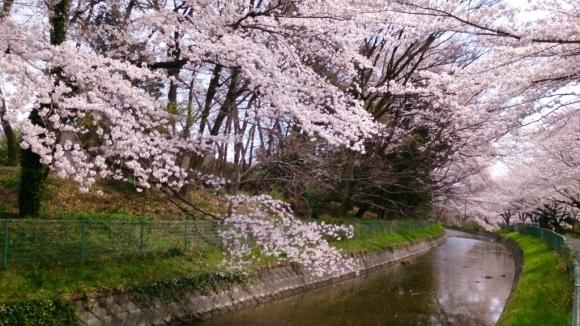 見沼芝川沿いの桜_d0116059_19491180.jpg