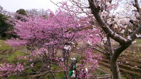 見沼芝川沿いの桜_d0116059_19493689.jpg