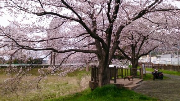 見沼芝川沿いの桜_d0116059_19494675.jpg