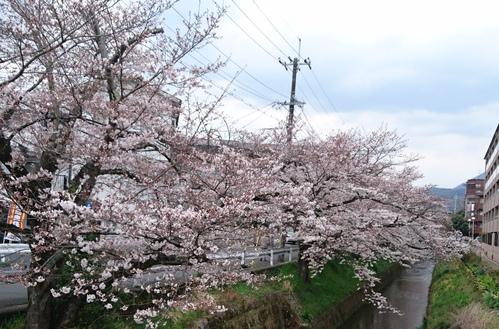 桜だより_e0139459_1344522.jpg