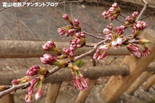 開花宣言!_a0243562_14430731.jpg