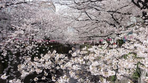 今日の目黒川(4/6木)_f0230689_15232198.jpg